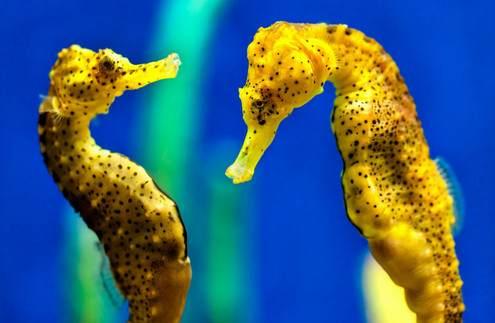 Resultado de imagen para caballito de mar macho