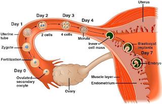Implantation is a crucial step in mammalian reproduction
