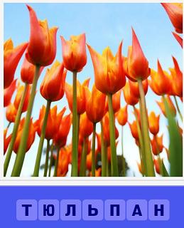 растут тюльпаны на грядке, вид снизу на цветы