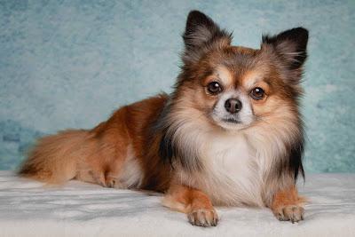 toy dog representative species, poodle crossbreed representative species