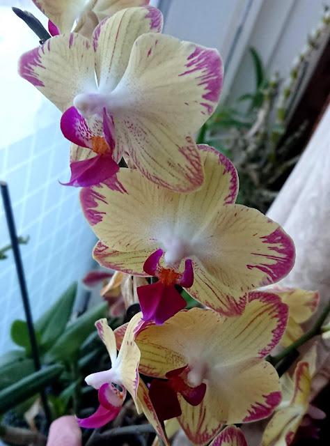 Phalaenopsis gul/rosa