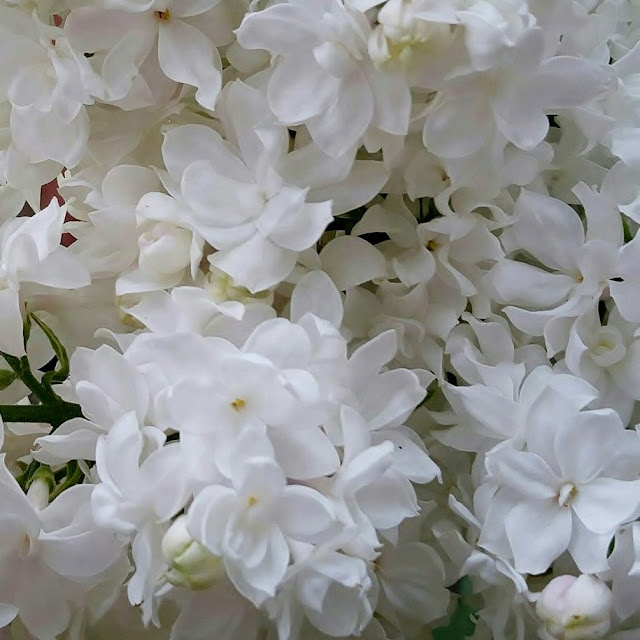 White Lilacs, flowers, blooms, fragrant, gardening, May