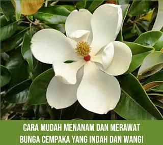 Bunga cempaka