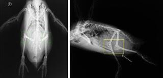 Posición escondida de las rodillas del pingüino