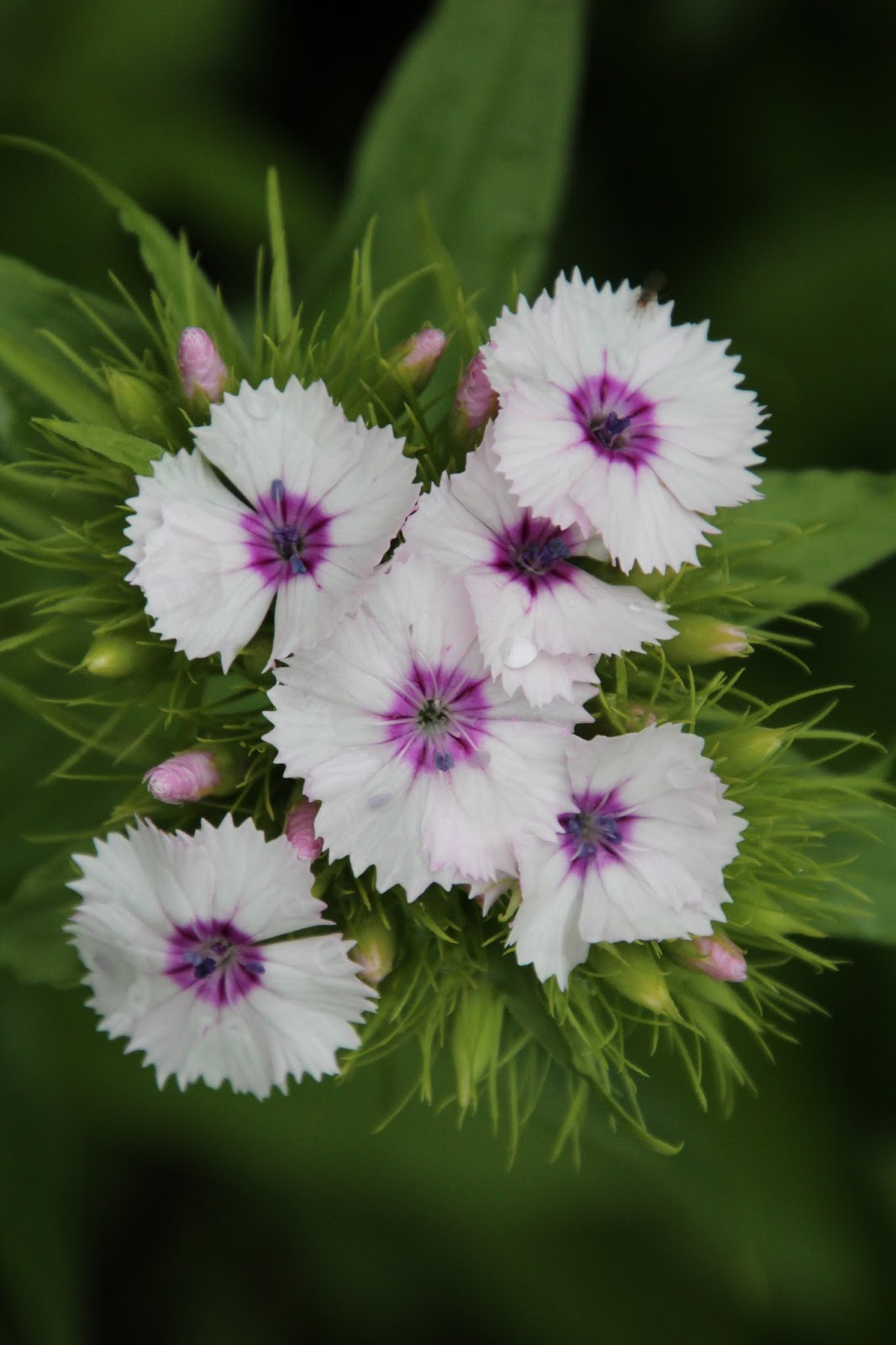 Borstnejlika Dianthus barbatus