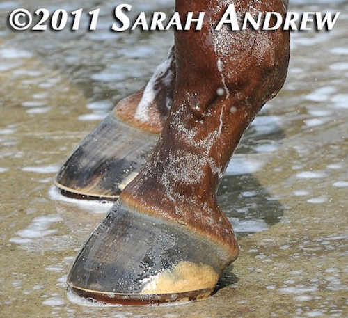 Shackleford's glue on horseshoes for 2011 Travers Stakes