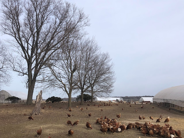 Chickens wandering in the large pen at All Grass Farms in Dundee, Illinois