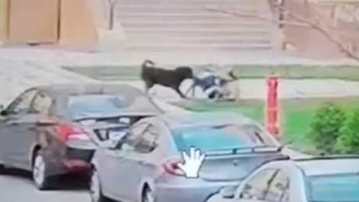 فيديو للكبار فقط .. اول فيديو واضح لهجوم كلبين في اكبر كومباوند بمصر علي طفل صغير ولحظه نهش جسمه ومحاولات امه لانقاذه وتضحي بنفسها