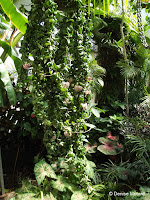 Hindu rope plant - Auckland Domain Conservatory, Auckland, New Zealand