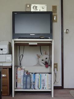 パソコン机の下に潜り込んだ白柴チロ②