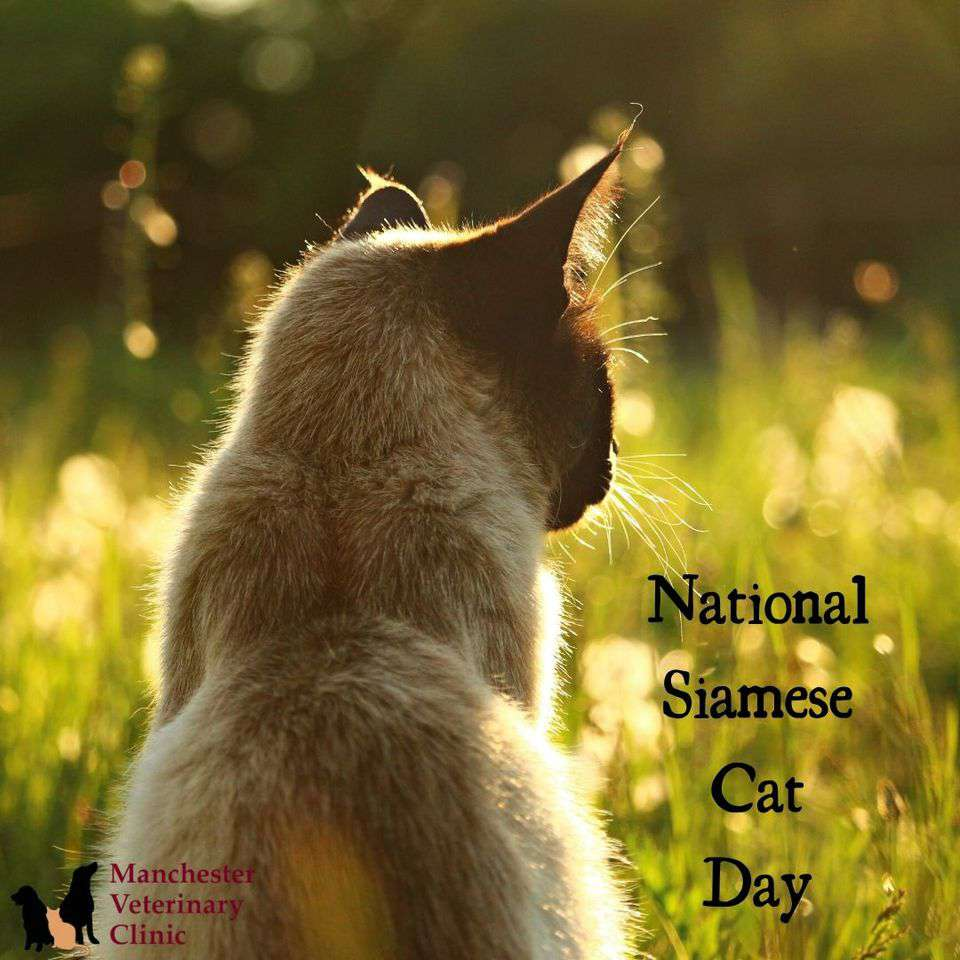 National Siamese Cat Day Wishes Beautiful Image