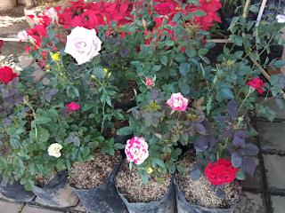 bibit-bunga-mawar-cangkok.jpg