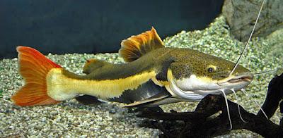 Red Tail Catfish ( RTC )