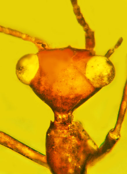 'Alien-looking' fossil insect found trapped in amber