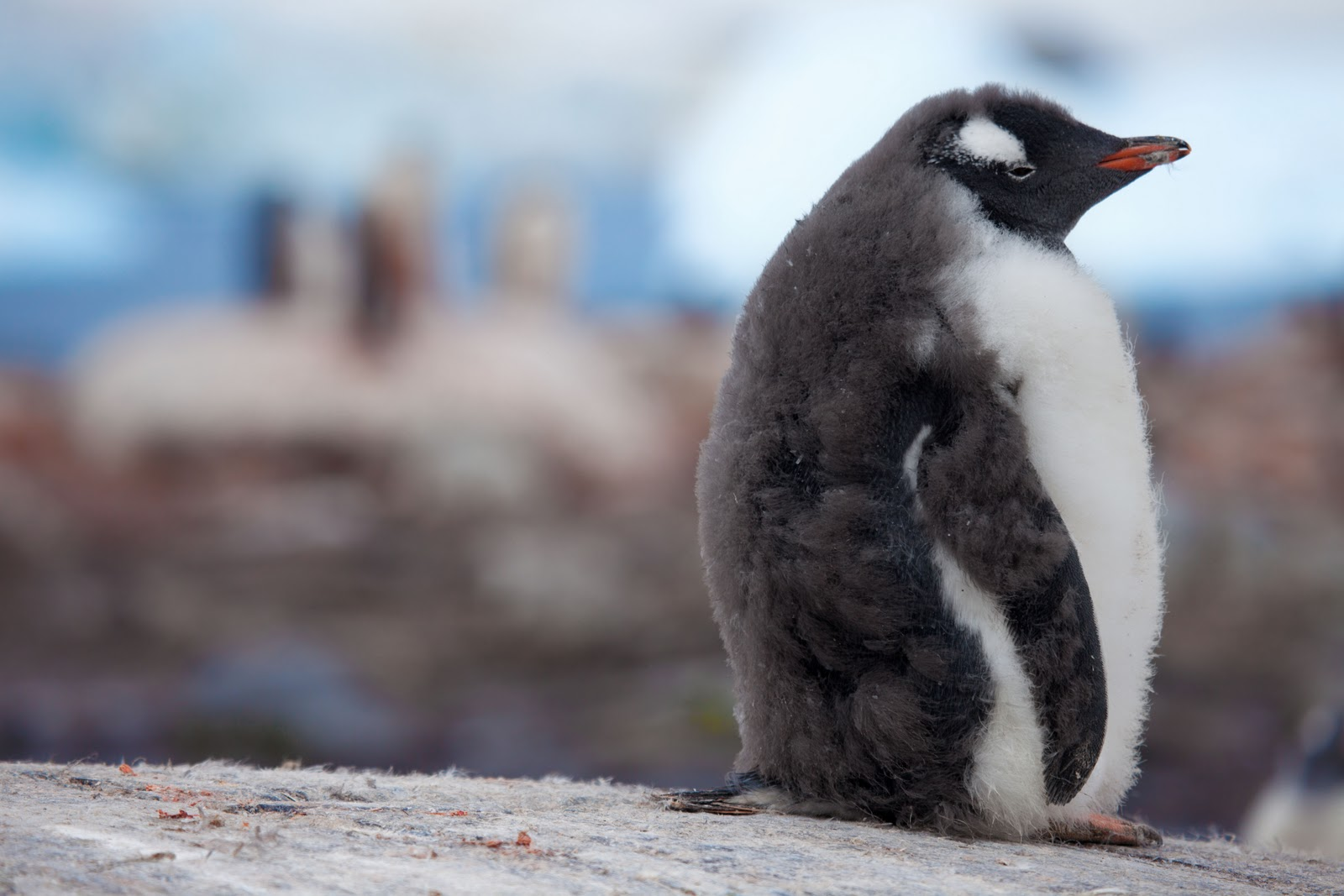 penguin baby penguins cute cutest animals animal adorable nature gifs fat ll mighty ever fuzzy