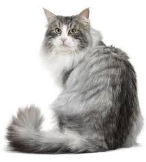 Kucing Aphrodite
