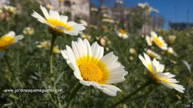 Flor bicolor de Chrysanthemum coronarium