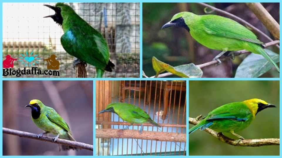 Jenis-jenis burung cucak ijo berikut ciri-ciri dan harga nya