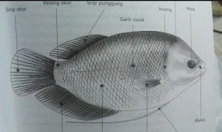 ciri ikan gurame