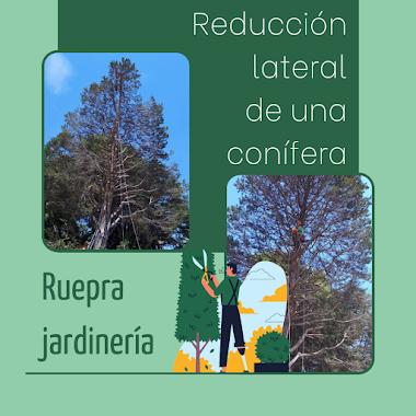 Reducción lateral de una conífera por Ruepra Jardinería