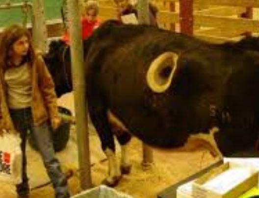 mucca fistulate buco pancia
