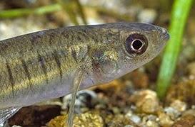 Banded Killifish Facts, Size, Diet, Habitat, Care