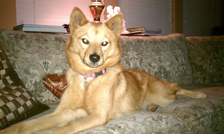 17 Best images about Dogs of Mixed and Unknown Breeds on ...  Finnish Spitz Lab Mix