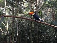 tucan en parque de brasil