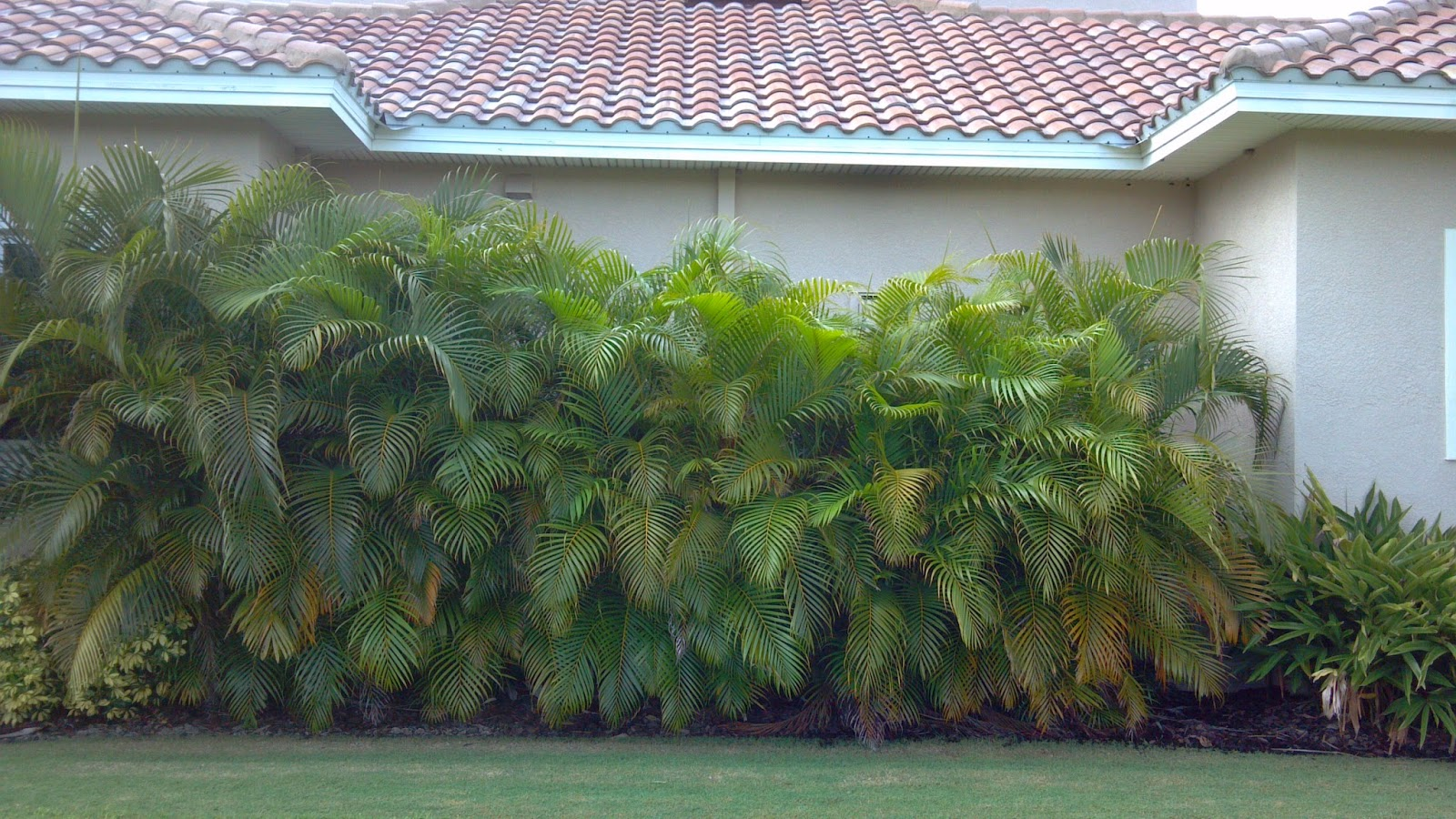 Dypsis Lutescens Useful Tropical Plants A Quality Plant Areca Palm Used As A Screen Wholesale