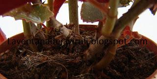 sustrato-begonia-pinafore