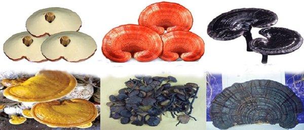 Nấm linh chi đỏ và nấm linh chi đen loại nào tốt hơn