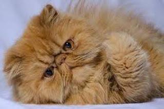 Ciri-ciri Kucing Peaknose Beserta Daftar Harganya