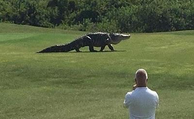 Heboh, Buaya Besar Terekam Berjalan di Lapangan Golf