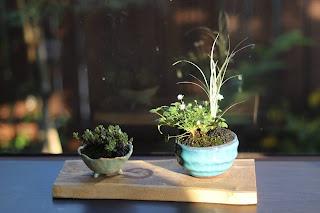 小さな鉢盆栽 2点