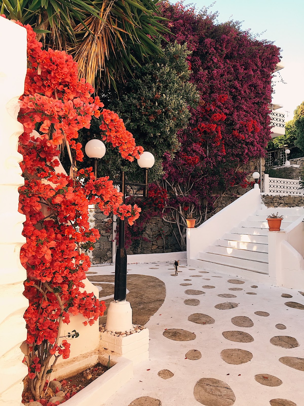 bougainvillea, bougainvillea mykonos, streets of mykonos, best city with bougainvillea, most famous bougainvillea, indian blog, indian blogger, top indian blog, indian luxury blog, uk blog, british blog, london blog, delhi blogger, delhi travel blogger, indian travel blog,  indian fashion blogger, top travel destination, top travel destination 2017, lonely planet recommend, travel to europe, europe travel info, summer holiday, where to go this summer, beach holiday, top beach destination, greece, greek holiday, greece travel, mykonos, mykonos travel guide, tips for mykonos, mykonos travel info, places to see in mykonos, places to eat in mykonos, best places for sunset mykonos, best views mykonos, prepare for greece travel, greece vacation, best beach mykonos, where to shop mykonos, what to eat mykonos,