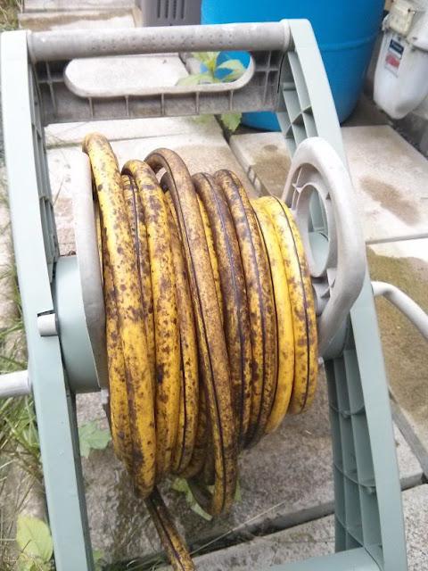Esta mangueira parece uma banana madura
