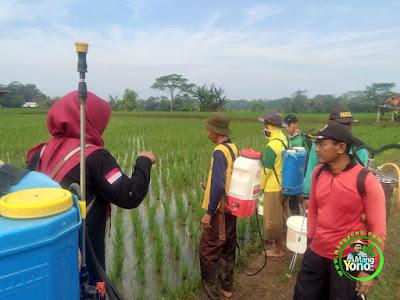 Petani Subang Bersama Petugas POPT dan UPTD Pertanian Lakukan Pengendalian Hama WBC, PBP, HPP