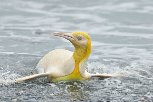 Fotografo belga immortala un pinguino giallo 'mai visto prima'