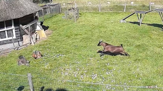 Камера сняла эпичное видео, как коза и петух спасли свою подружку-курицу, когда её схватил ястреб