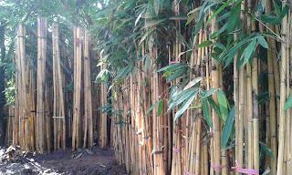 Jual Bambu Panda,Jual Bambu Kuning murah,Jual Bambu Hias Murah