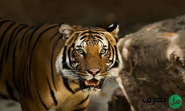 انواع النمور واسمائها