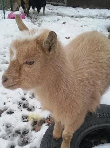 Nigerian goat declared missing in USA