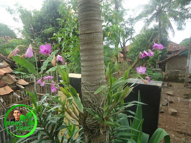 Tanaman Anggrek Nempel Dipohon