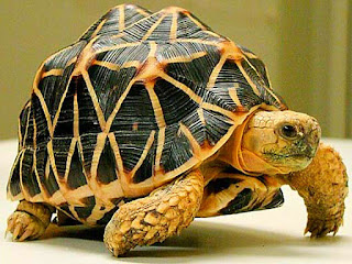 indian-star-tortoise-walk.jpg
