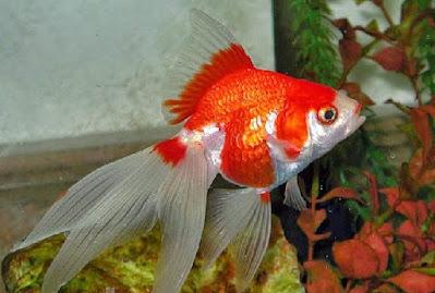 Contoh gambar ikan mas koki Fantail