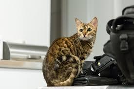 Jenis Kucing Kampung Bengal
