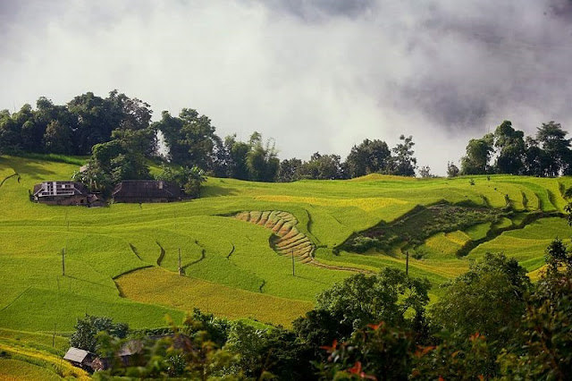 The Ripe Rice Route In Hoang Su Phi In October 1