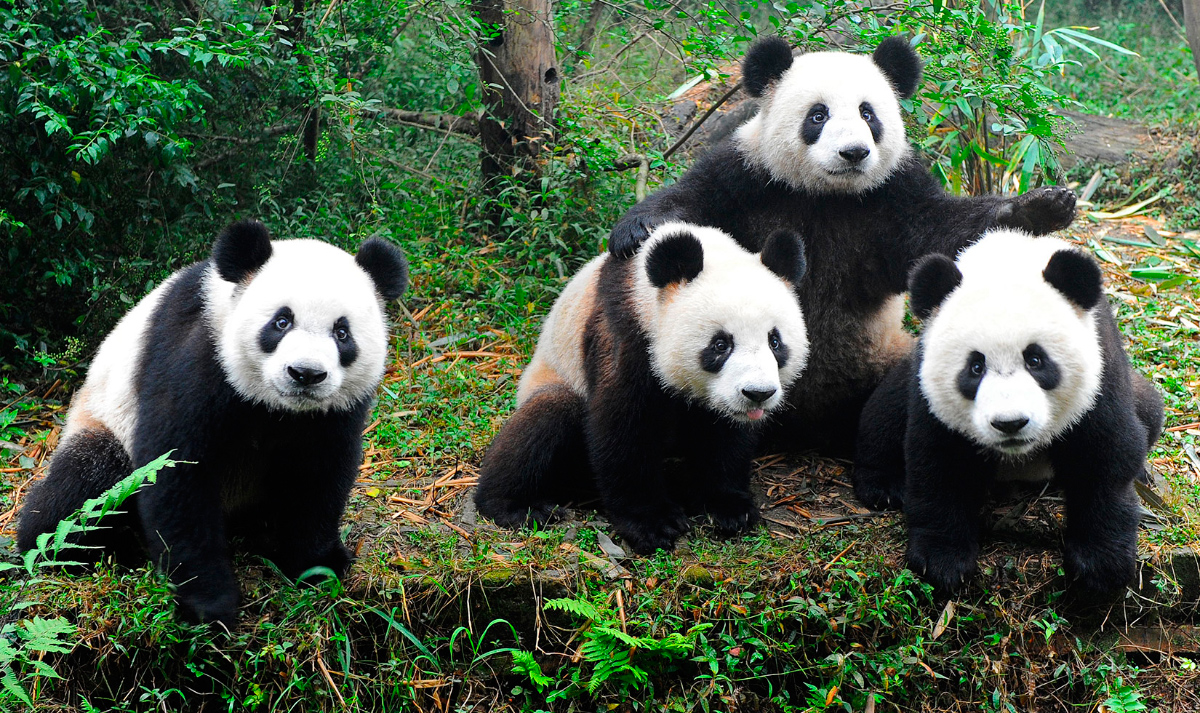 oso panda: ANATOMIA DEL OSO PANDA Y MAS