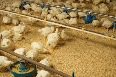 perfect bedding for poultry