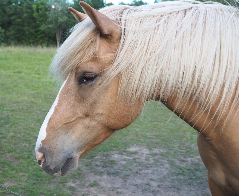 upea vaalean ruskea hevonen
